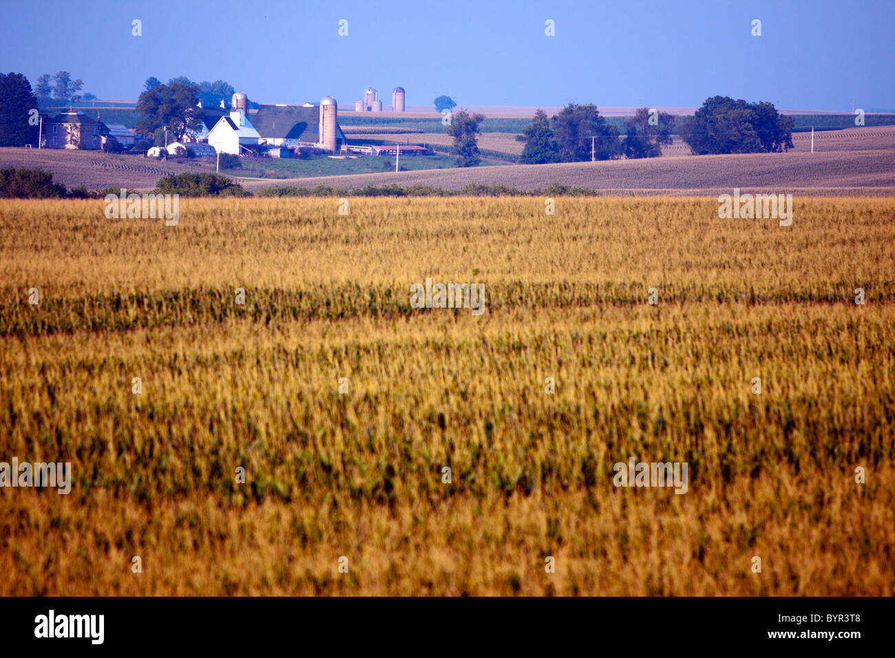 A summer corn field in Central Illinois. - Stock Image