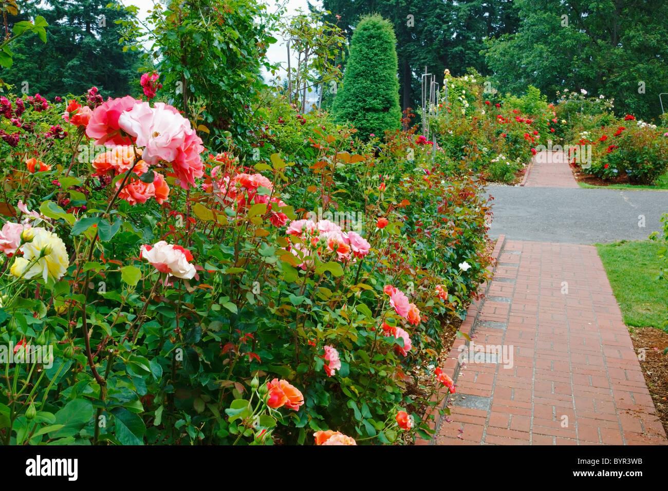 a path in portland rose garden portland oregon united states of america - Portland Rose Garden