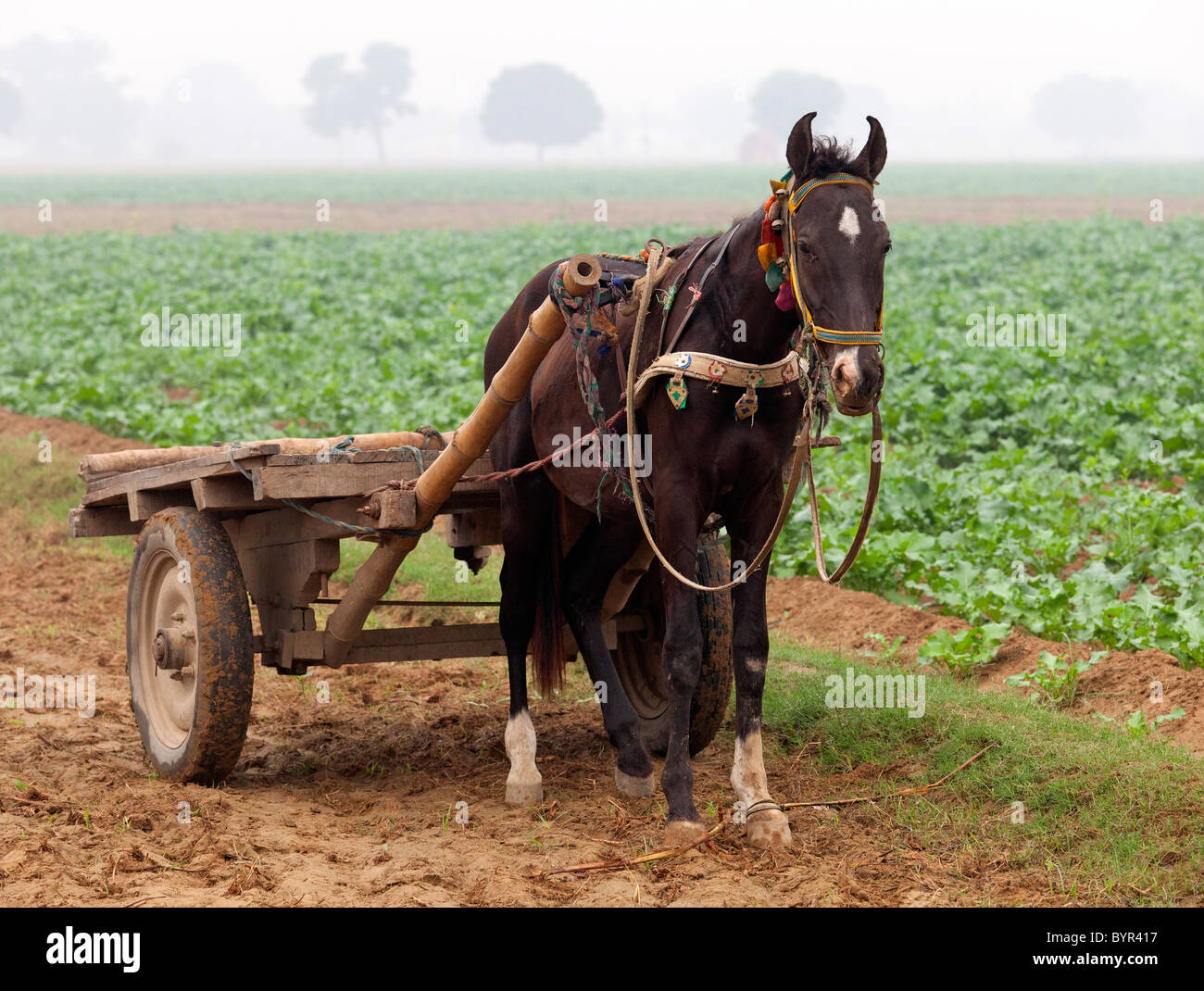 india, Uttar Pradesh, horse and cart in crop field in november - Stock Image