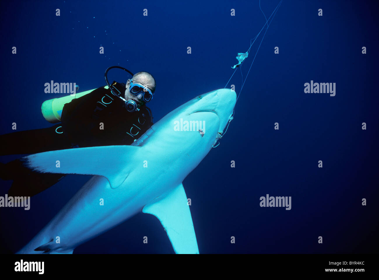 Diver examines Oceanic Blacktip Shark (Carcharhinus limbatus) hooked on long-line, Cocos Island, 320 miles off Costa Stock Photo