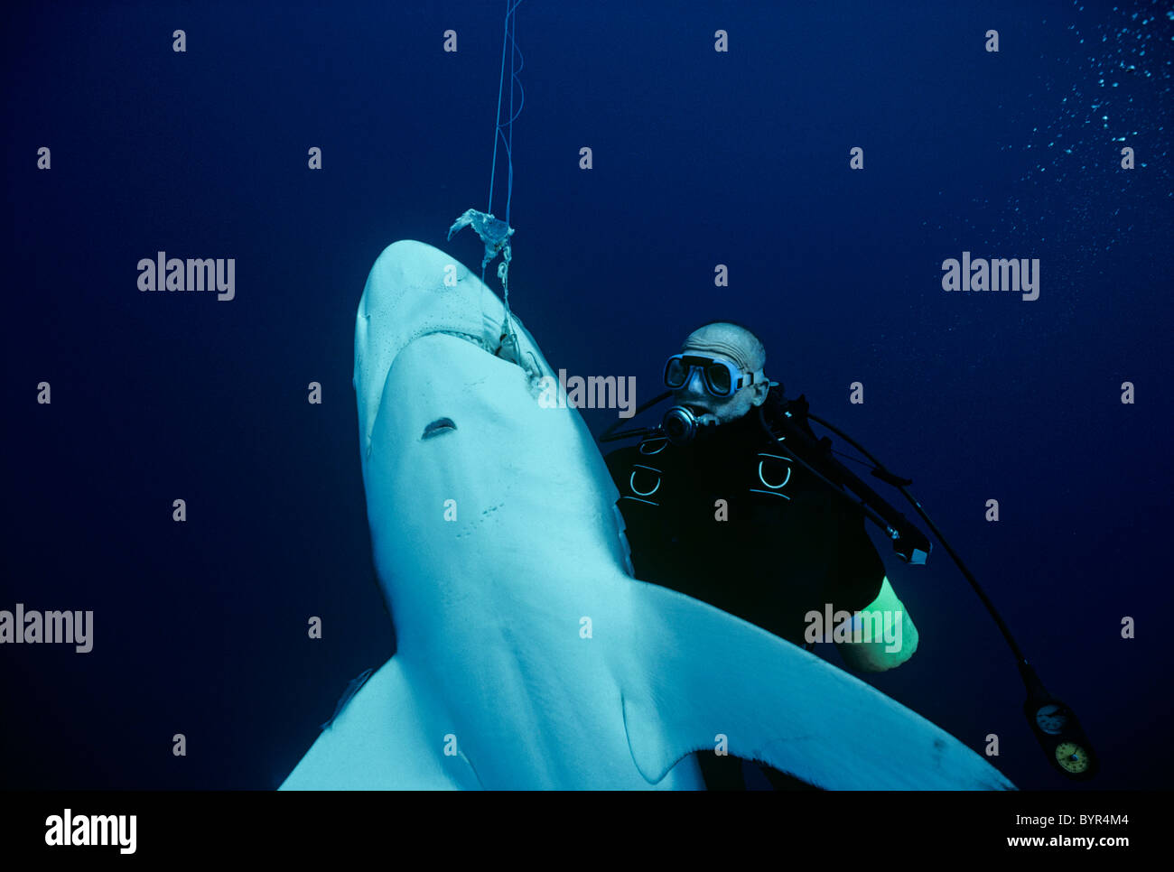 Diver examines Oceanic Blacktip Shark (Carcharhinus limbatus) hooked on long-line, Cocos Island, 320 miles off Costa Stock Photo