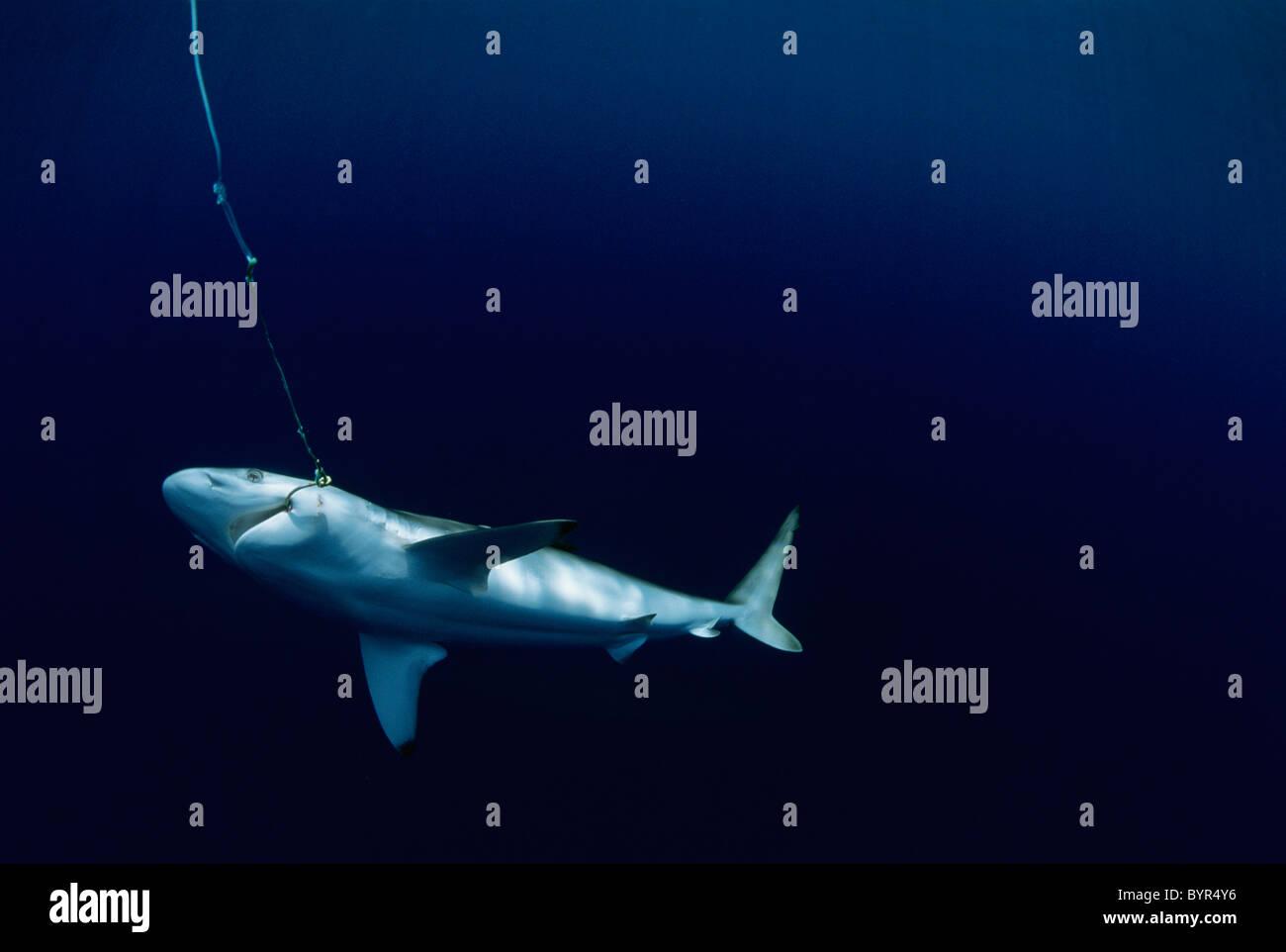 Live Oceanic Blacktip Shark (Carcharhinus limbatus) hooked on long line, Cocos Island, Costa Rica - Pacific Ocean. Stock Photo