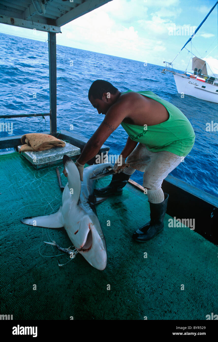 Cutting fins from Oceanic Blacktip Shark (Carcharhinus limbatus). Cocos Island, Costa Rica - Pacific Ocean Stock Photo