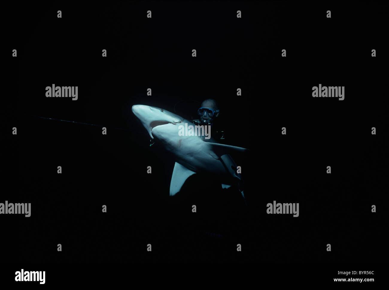 Diver examining live hooked Oceanic Blacktip Shark (Carcharhinus limbatus). Cocos Island, Costa Rica - Pacific Ocean - Stock Image