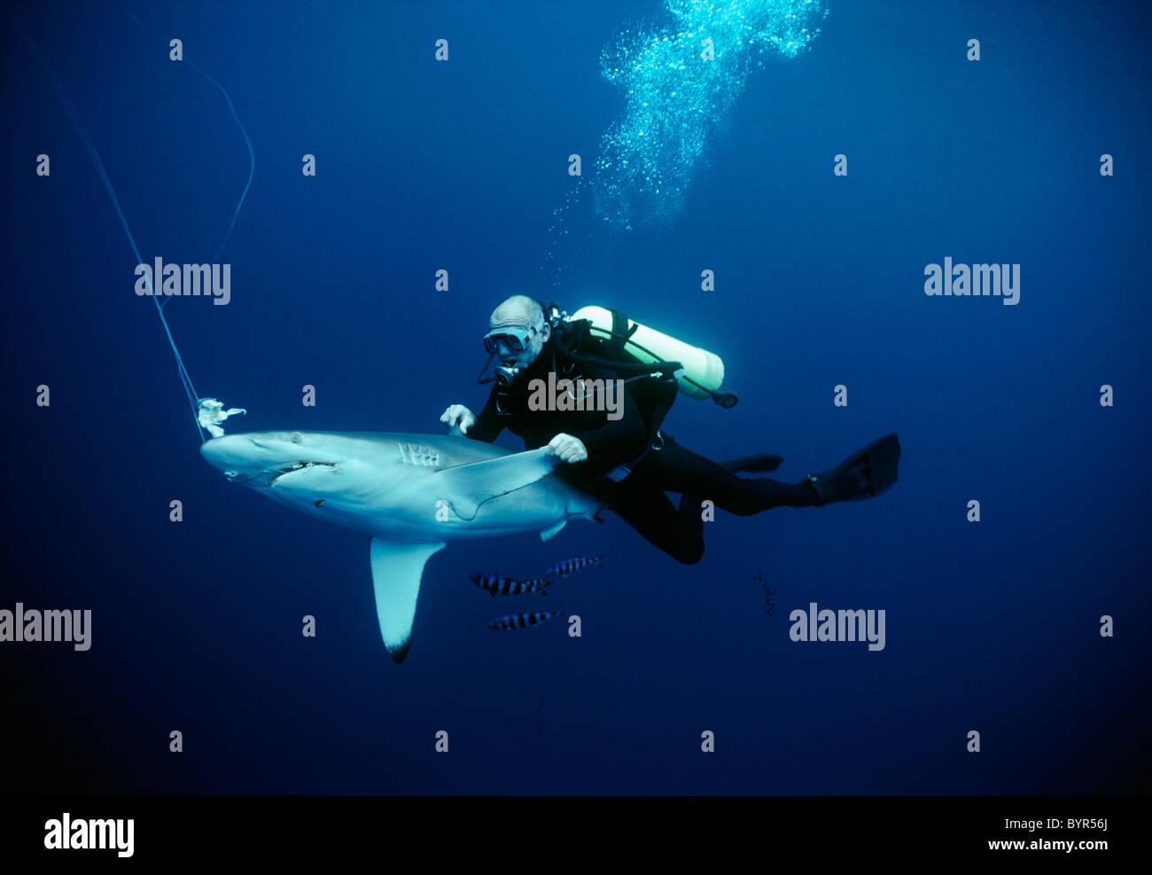 Diver examining live hooked Oceanic Blacktip Shark (Carcharhinus limbatus). Cocos Island, Costa Rica - Pacific Ocean Stock Photo