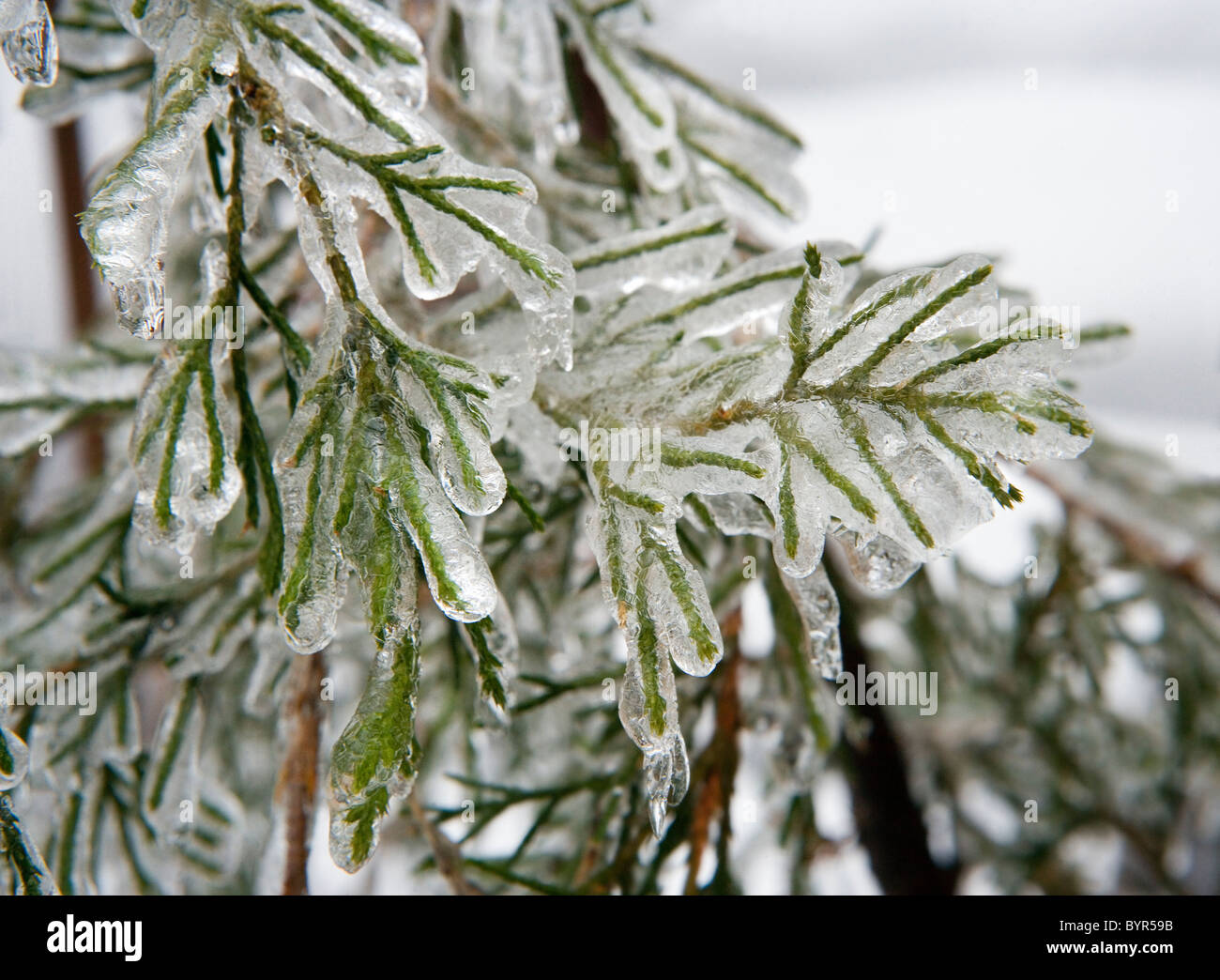 An ice storm has covered plants, trees, and shrubs with a coating of ice - Stock Image