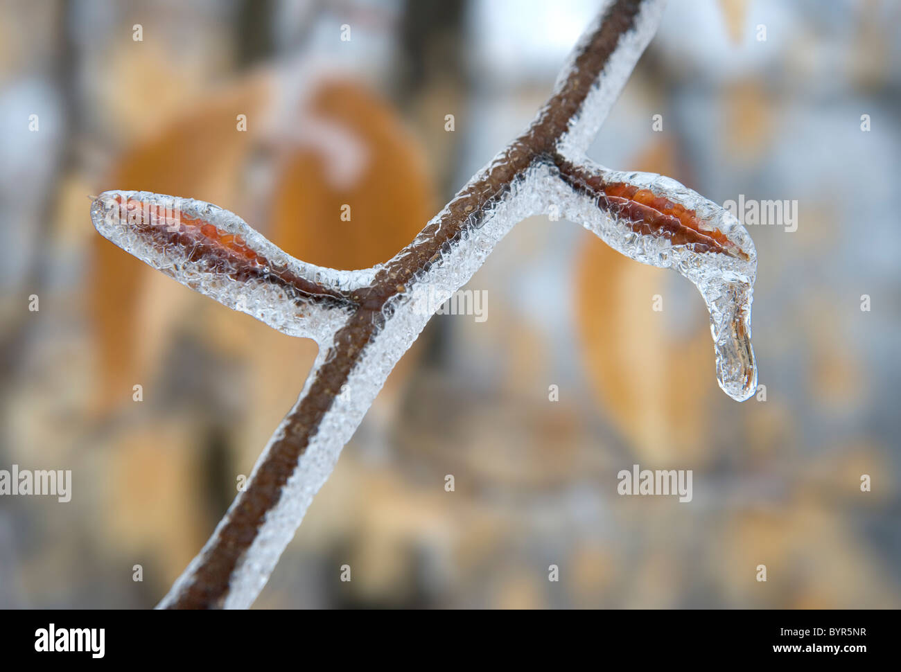 A beech tree twig and leaf buds covered in ice after an ice storm in winter Stock Photo