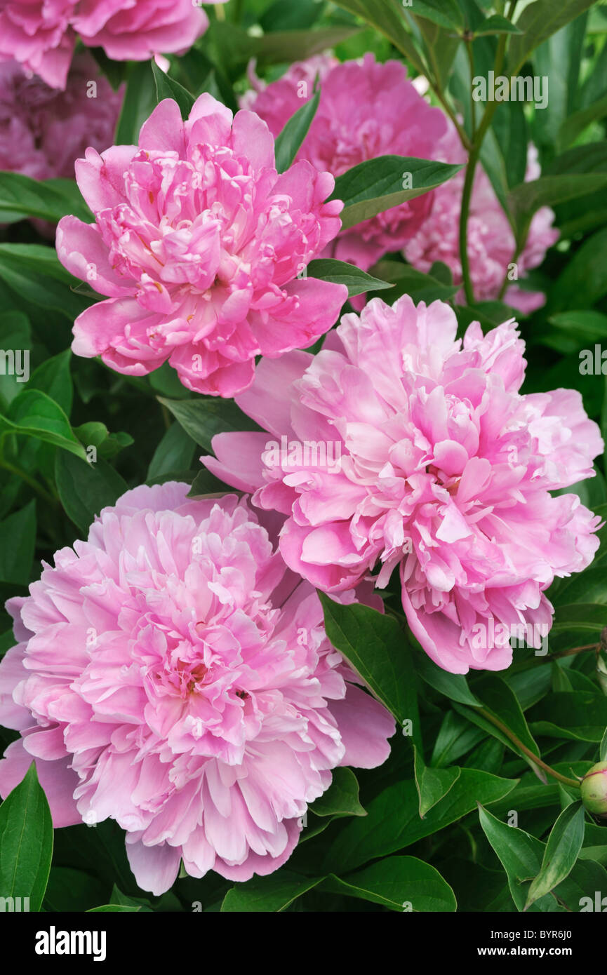 Bouquet of fresh pink peonies - Stock Image