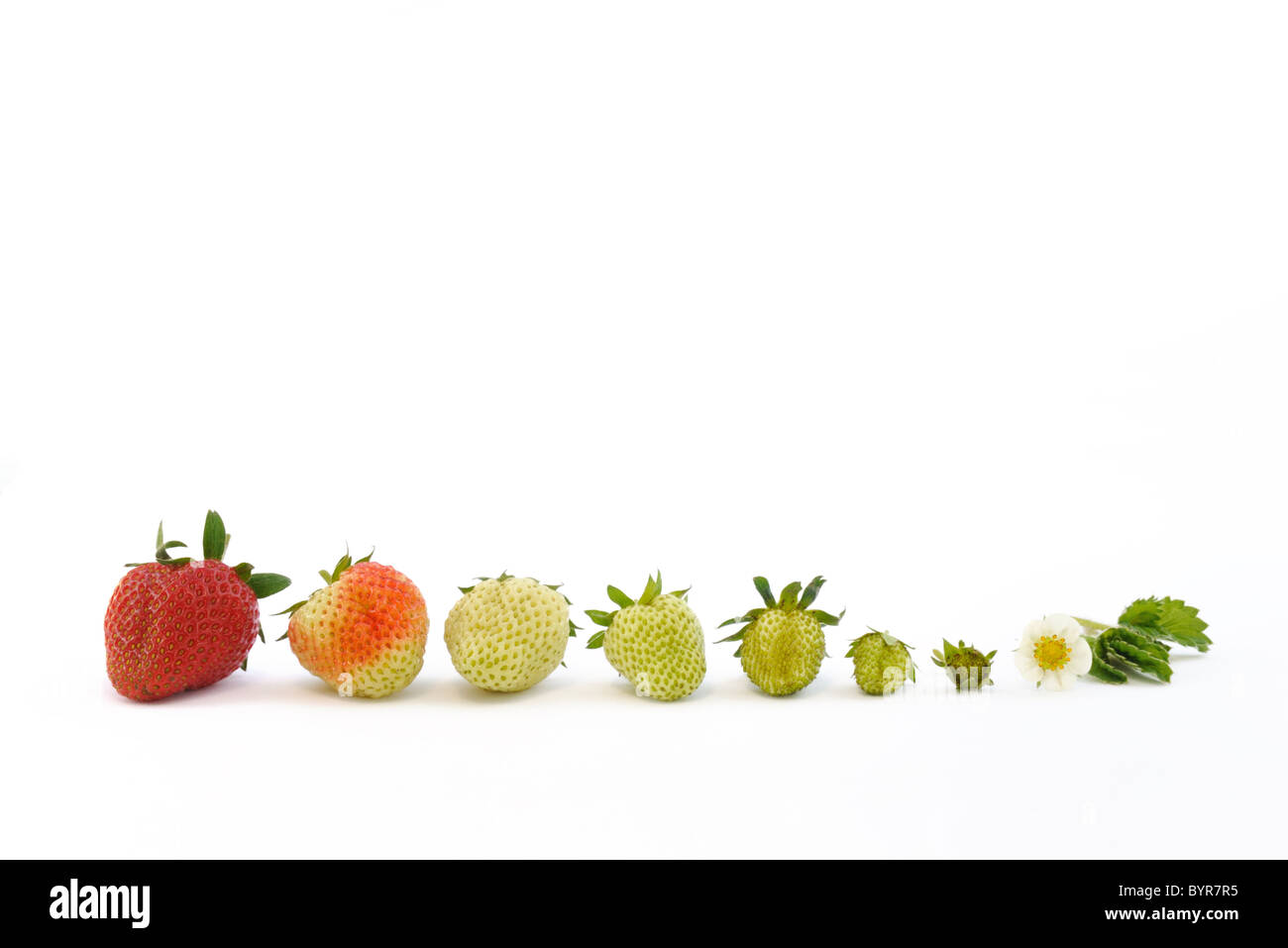 Strawberry growth isolated on white - Stock Image