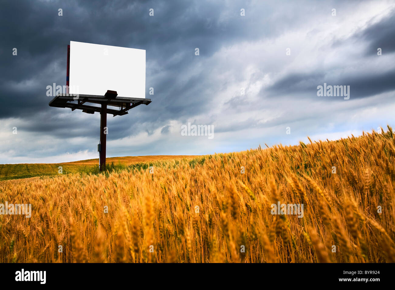 blank sign in a field of wheat; wilmar, minnesota, united states of america - Stock Image
