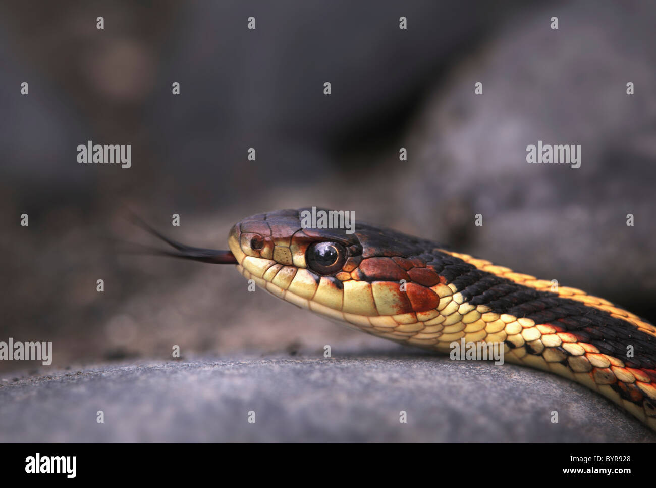 garter snake (thamnophis) shows it's forked tongue; price creek, british columbia, canada - Stock Image