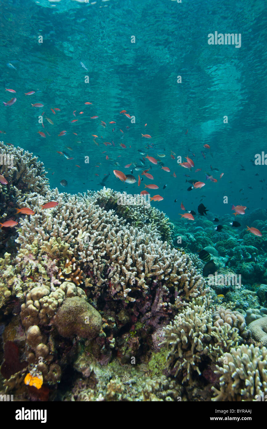 Anthias on a tropical coral reef off Bunaken Island in North Sulawesi, Indonesia. - Stock Image
