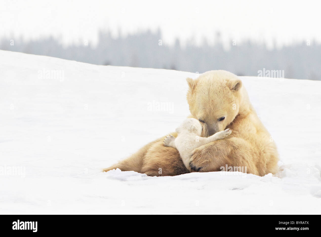 polar bear sow (ursus maritimus) holds her young cub tenderly in her paws at wapusk national park; churchill, manitoba, - Stock Image