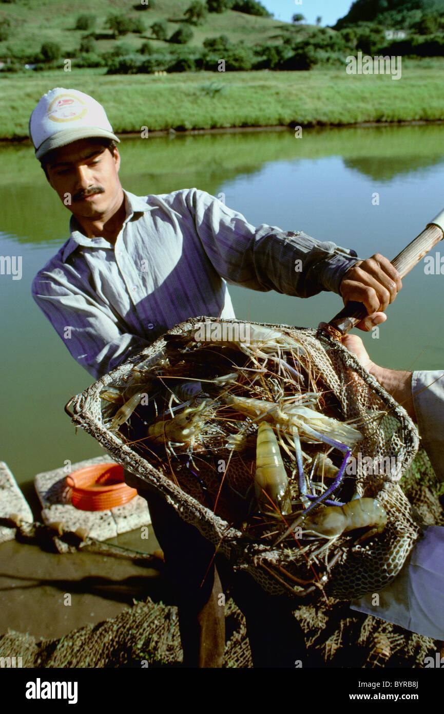 Harvesting giant freshwater prawns (Macrobrachium rosenbergii) at a