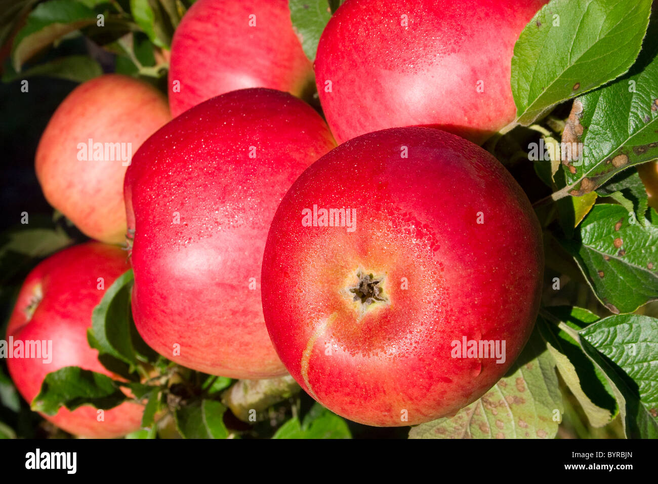 Agriculture - Closeup of mature, harvest ready Sierra Beauty apples on the tree / Fortuna, California, USA. - Stock Image