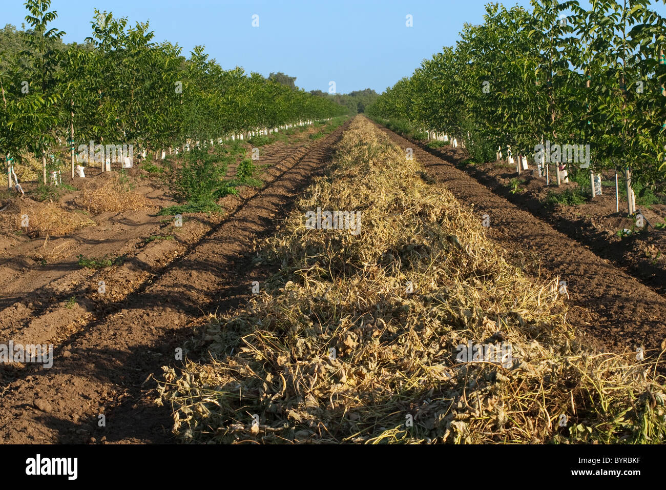 Kidney beans, cut and windrowed for drying before harvest, grown between rows of newly planted walnut trees / California, - Stock Image