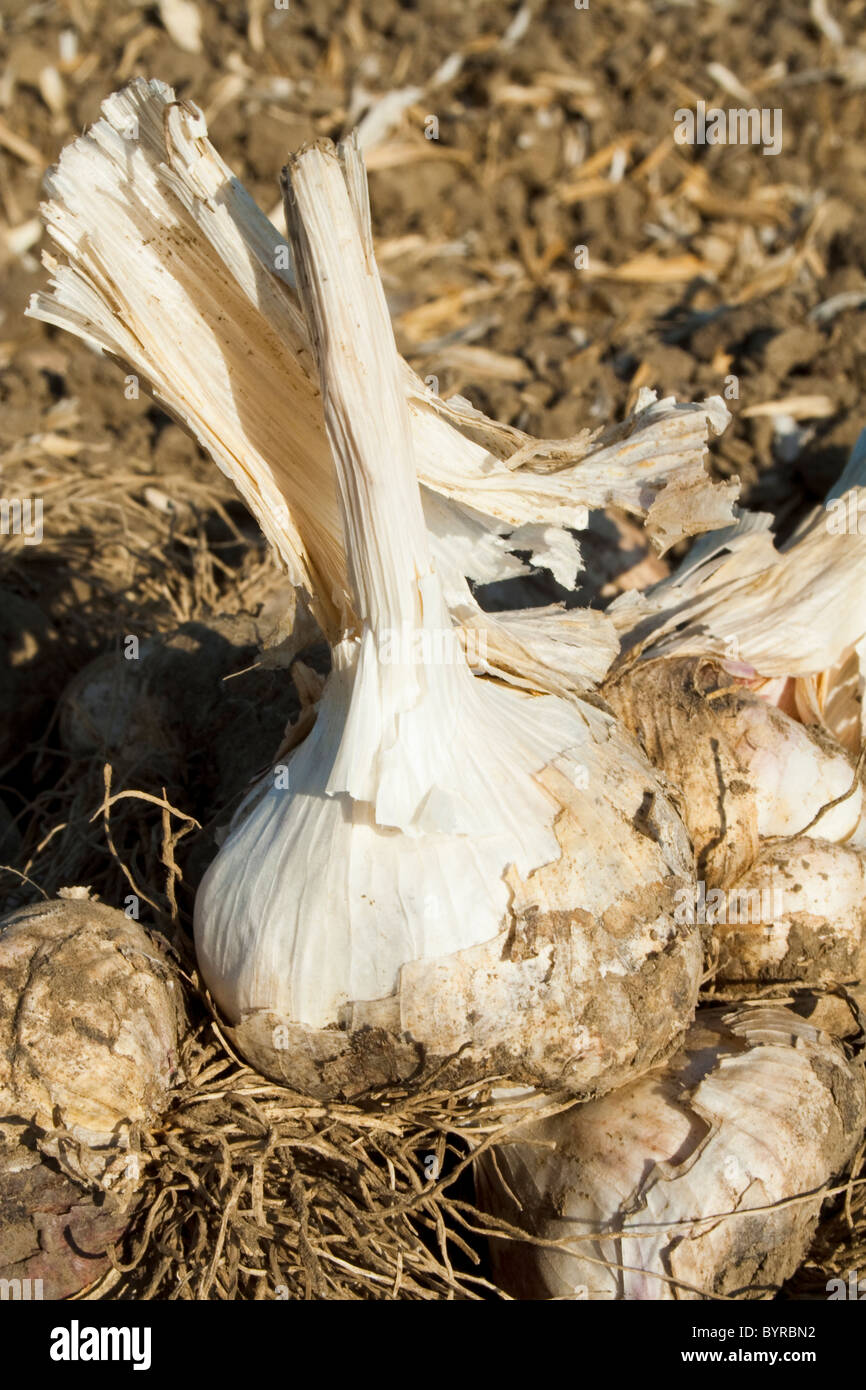 Garlic in the field, dug up and ready to be harvested. This garlic will be processed and dehydrated for use in processed foods. Stock Photo