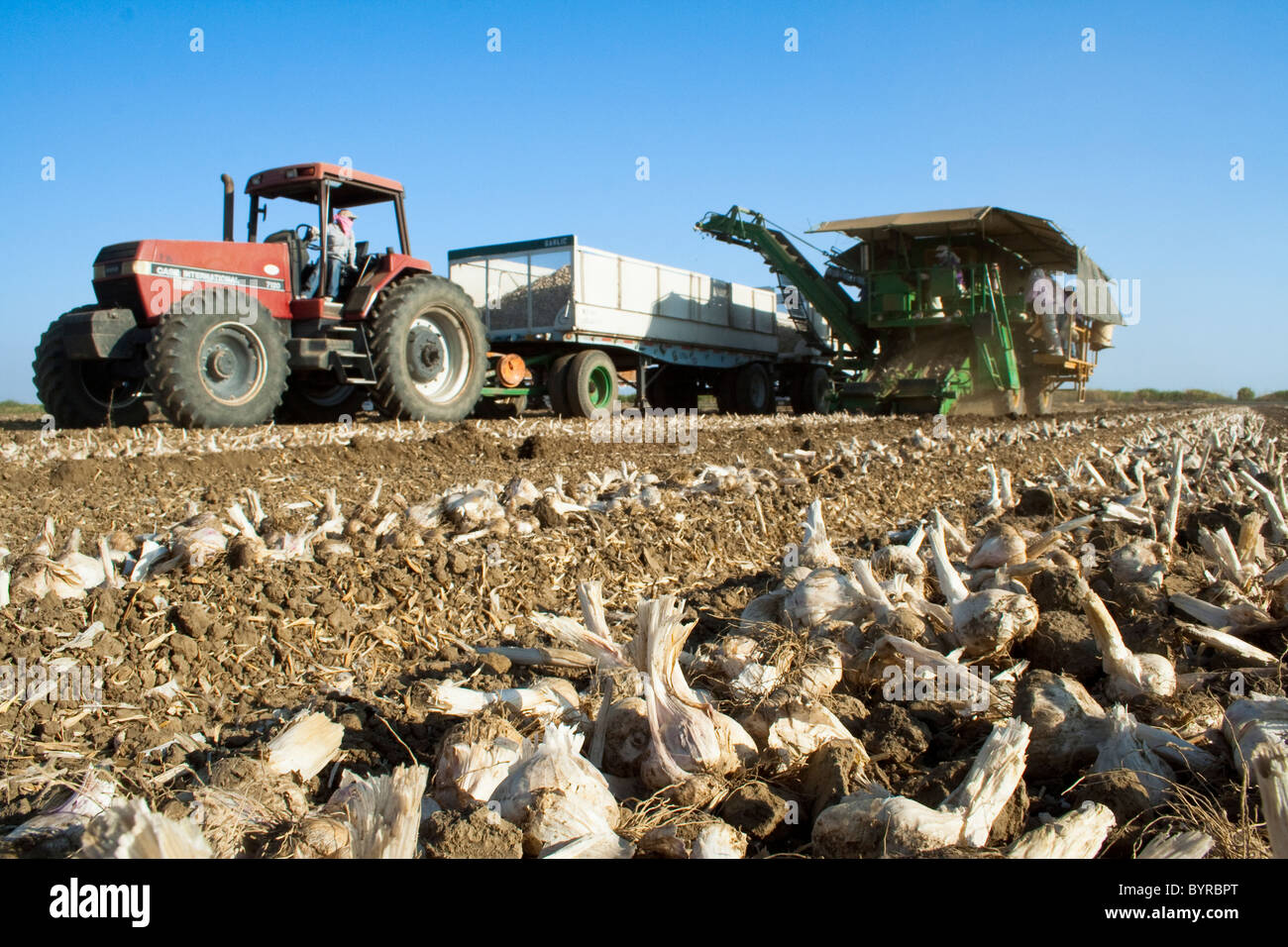 Harvesting processing garlic with a mechanical harvester / Zamora, California, USA. - Stock Image