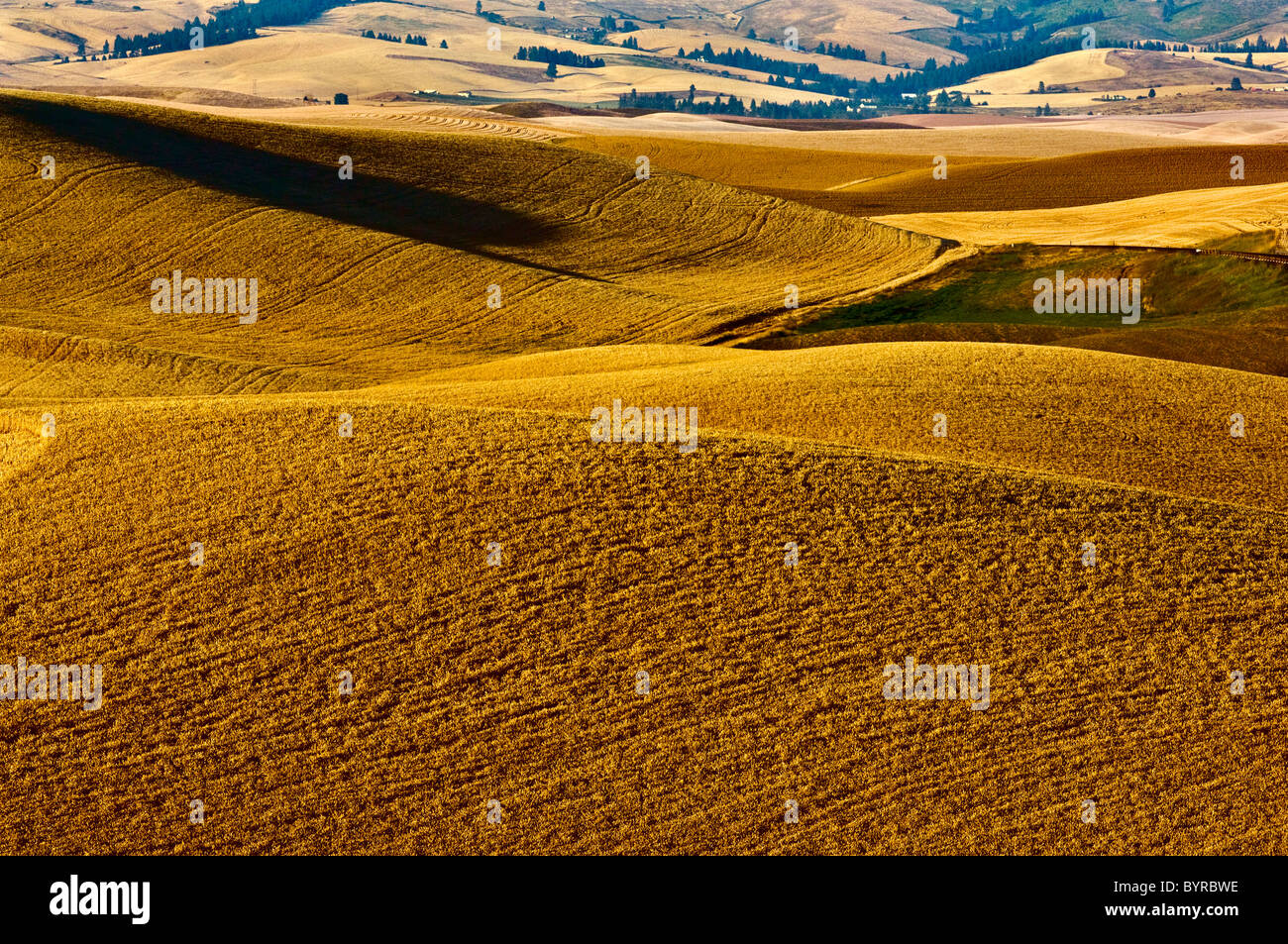Rolling hills of mature wheat ready for harvest in late afternoon light / near Pullman, Palouse Region, Washington, - Stock Image