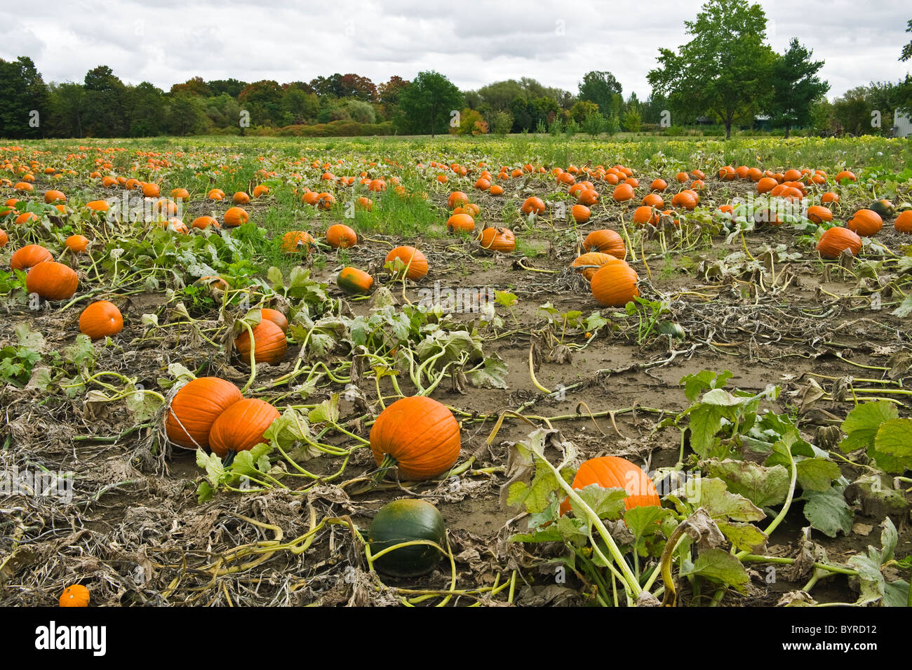 Agriculture - Field of mature pumpkins ready for harvest / near Collingwood, Ontario, Canada. - Stock Image