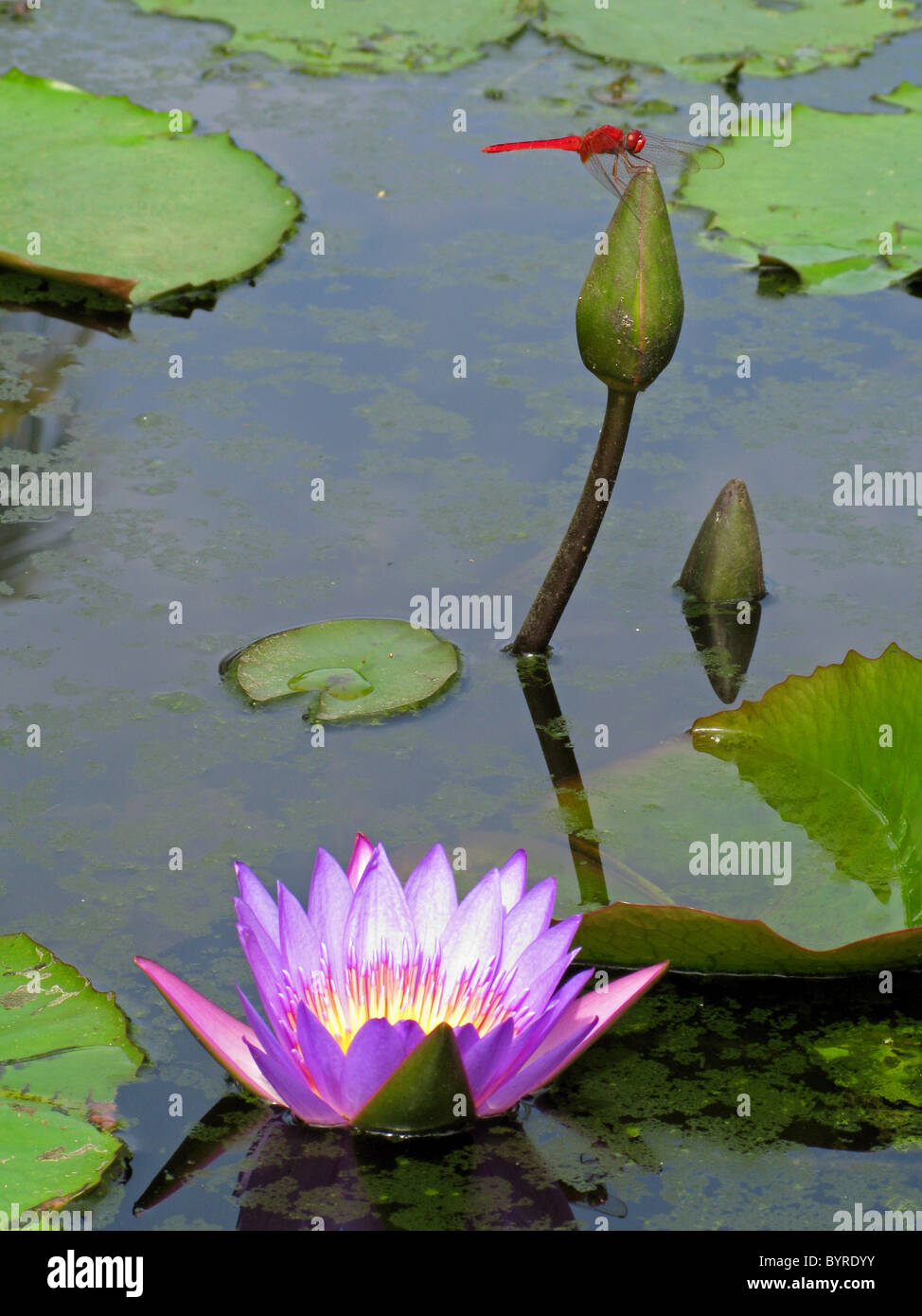 Lilly Pond With Water Lily Aka Lotus Flower Nelumbo Nucifera And