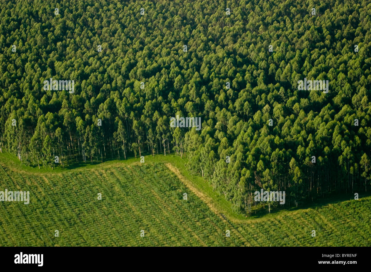 Aerial View Of Eucalyptus Trees At A Commercial Tree Farm Harvested Stock Photo Alamy