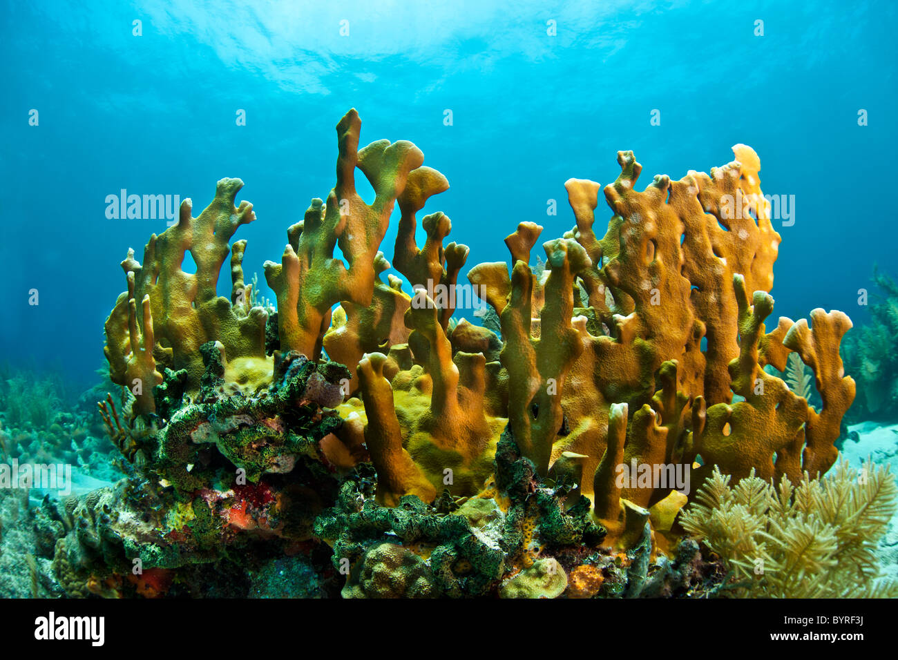 Coral reef in Honduras with Blade fire coral - Stock Image