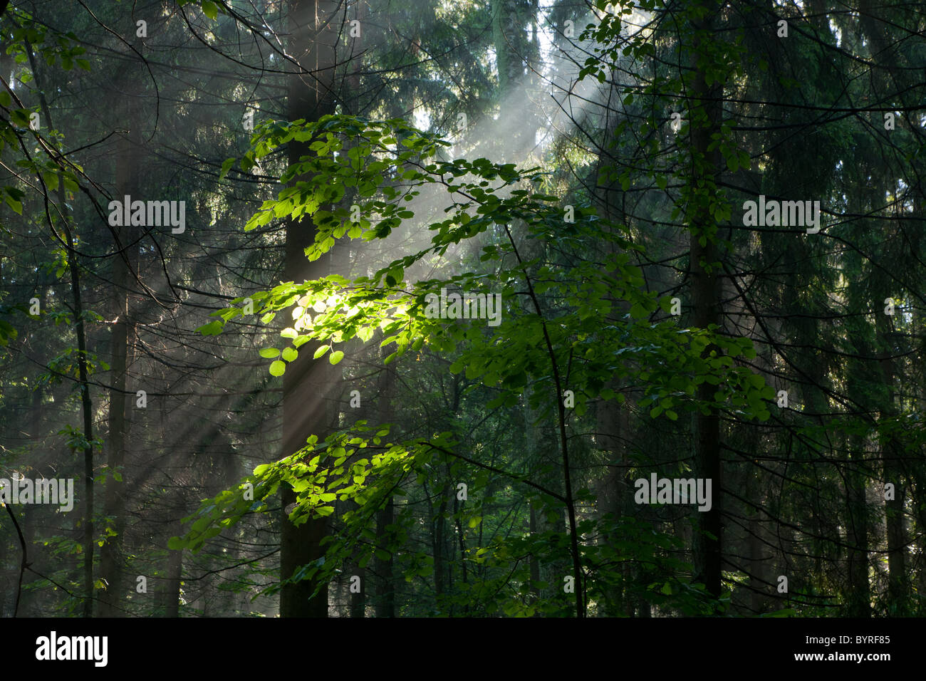 Sunny morning in the forest with hornbeam branch illuminated against spruces - Stock Image