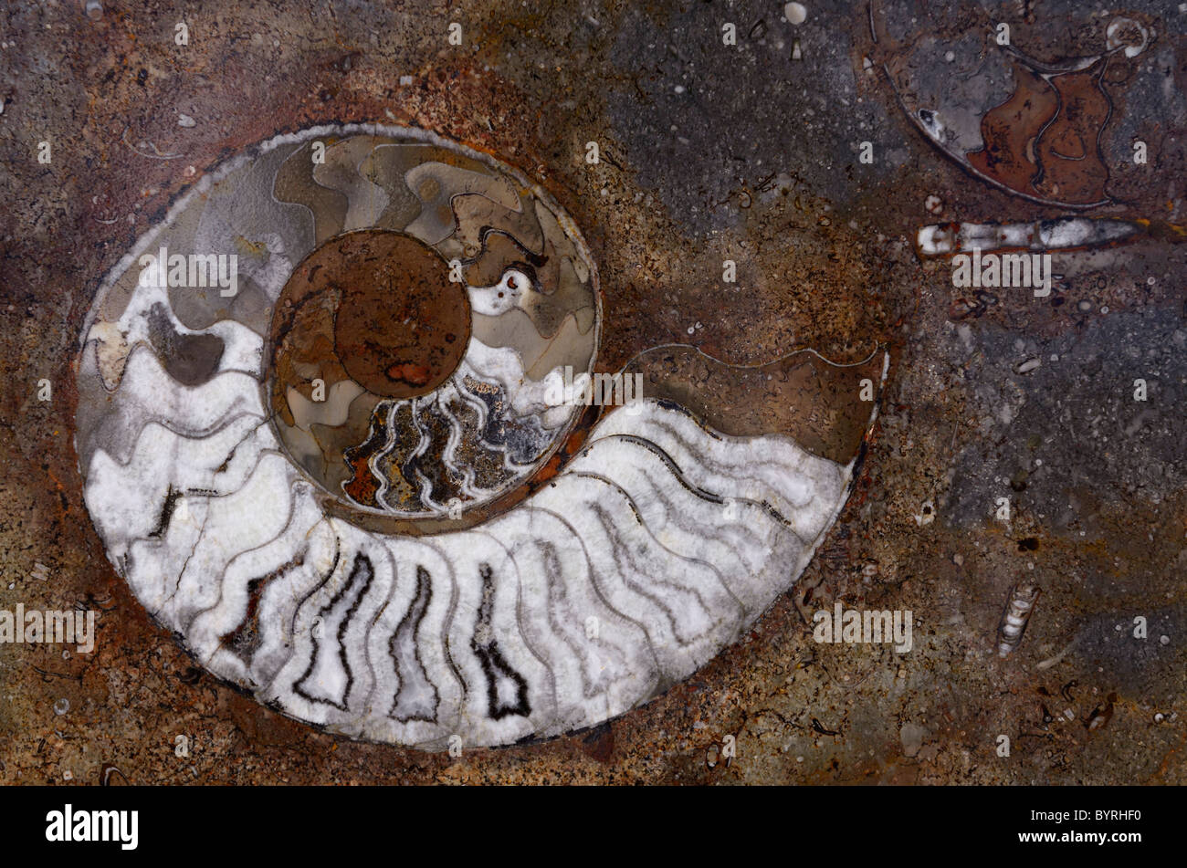 Polished rock of colorful fossils of ammonite spiral shells from Morocco Stock Photo