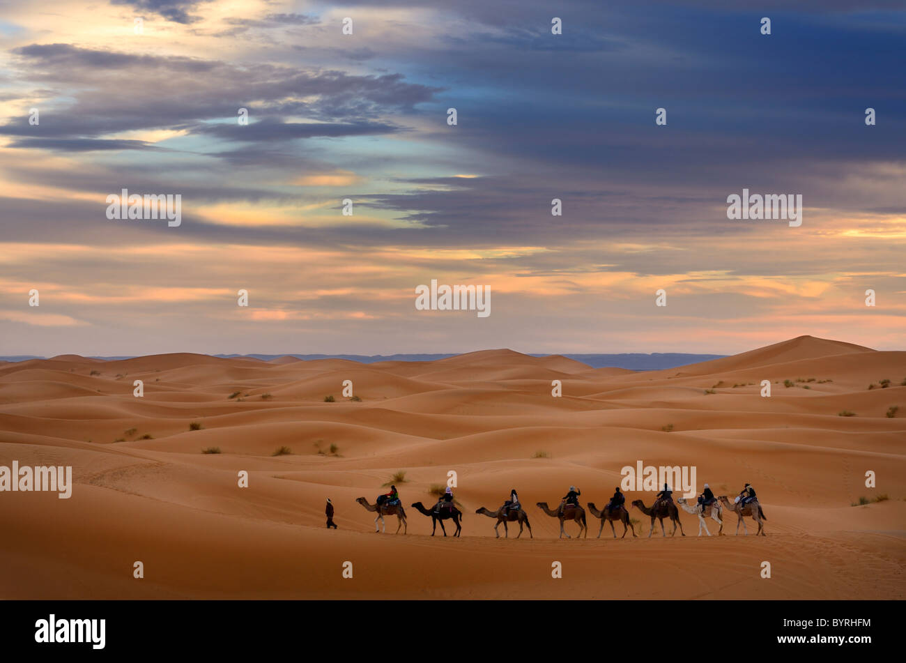 Berber guide leading a group of tourists on camels into the Erg Chebbi desert for a night ride Morocco Stock Photo