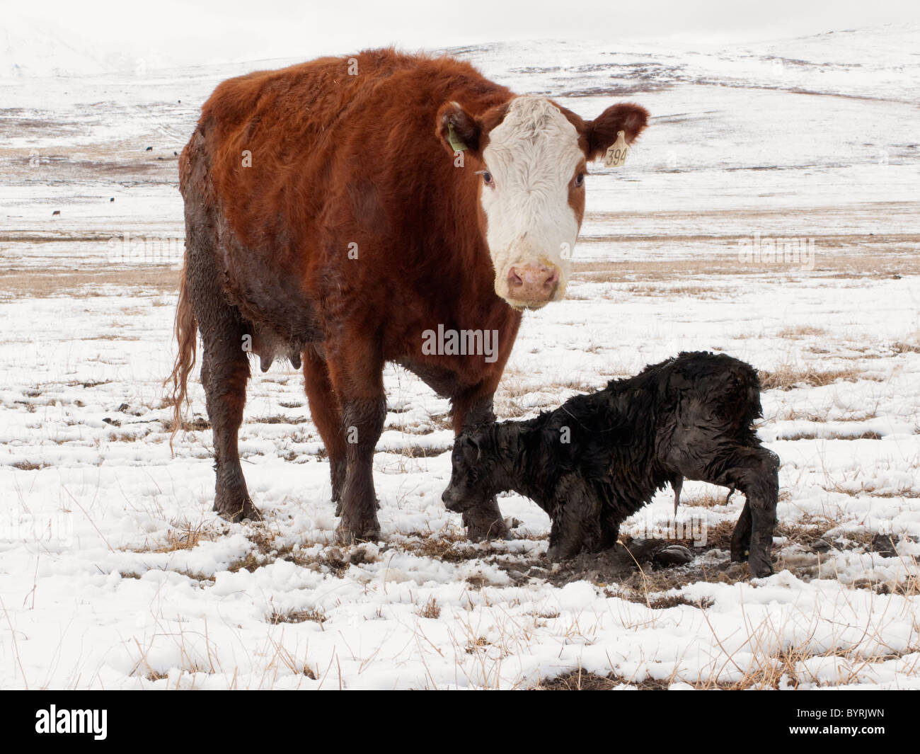A Hereford cross cow stands over her newborn calf as it struggles to stand for the first time on a snow covered - Stock Image