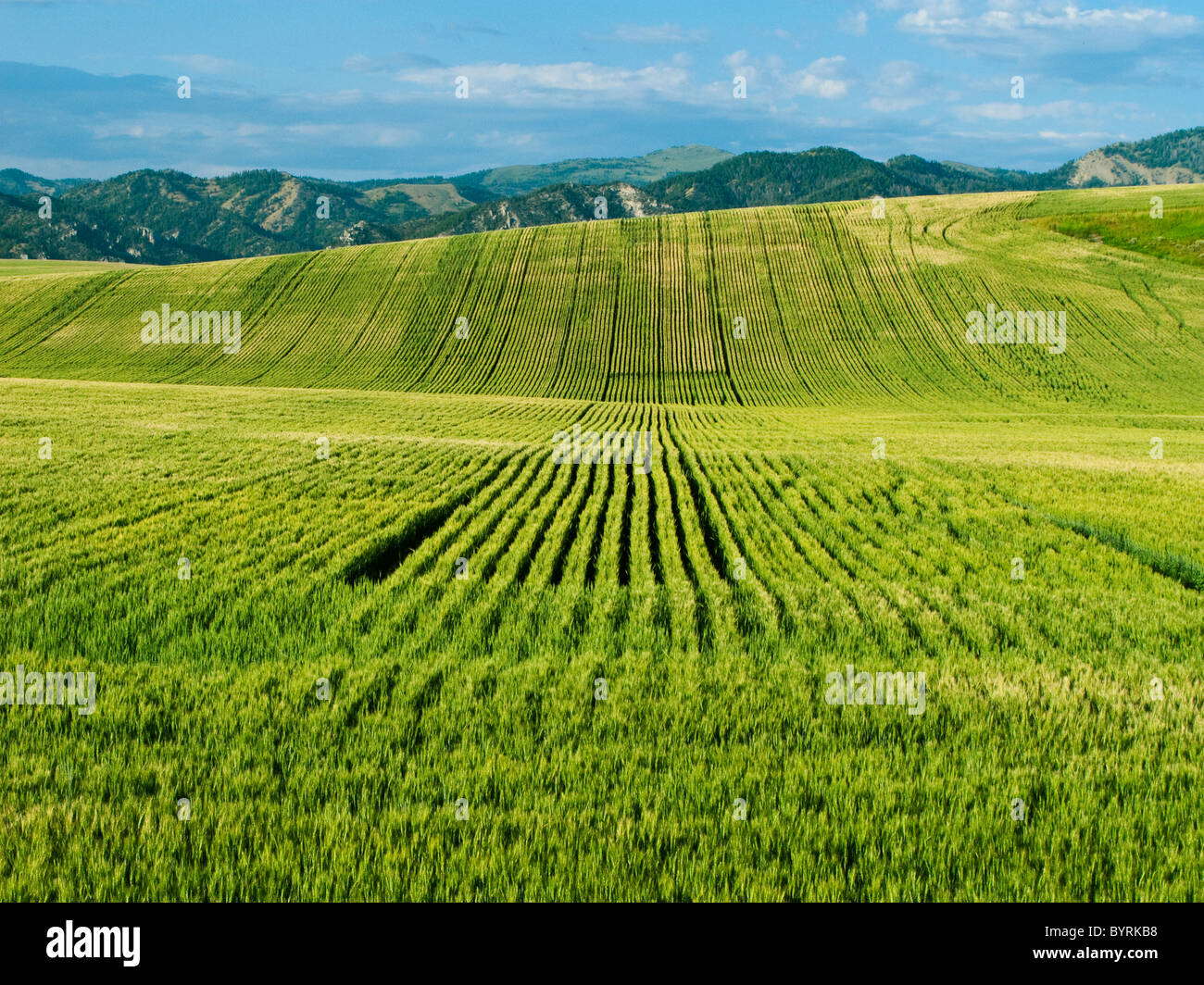 Agriculture - Rolling field of maturing Spring wheat / Idaho, USA. - Stock Image