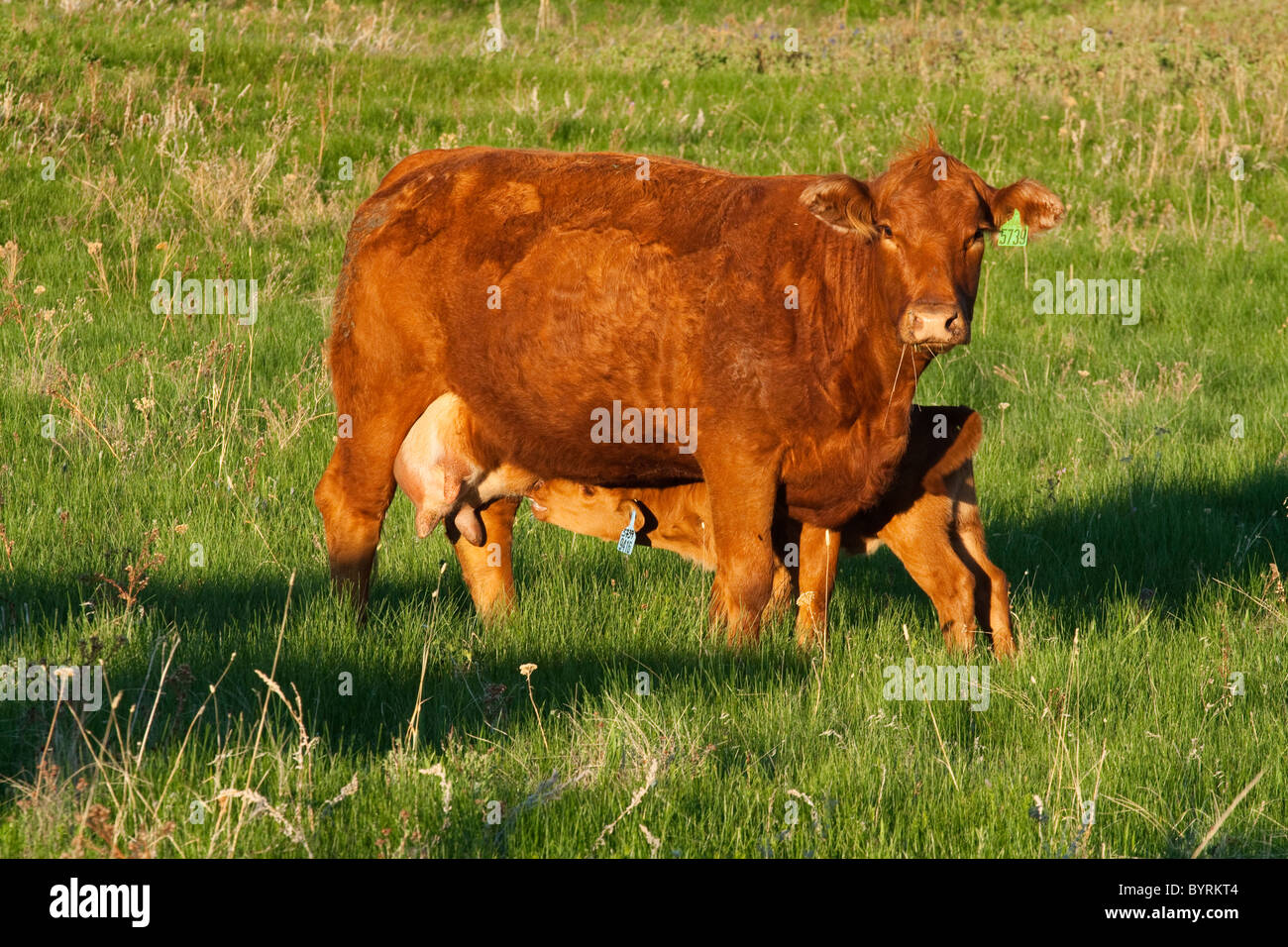 Livestock - A Red Angus beef cow with her nursing calf on a green pasture / Alberta, Canada. - Stock Image
