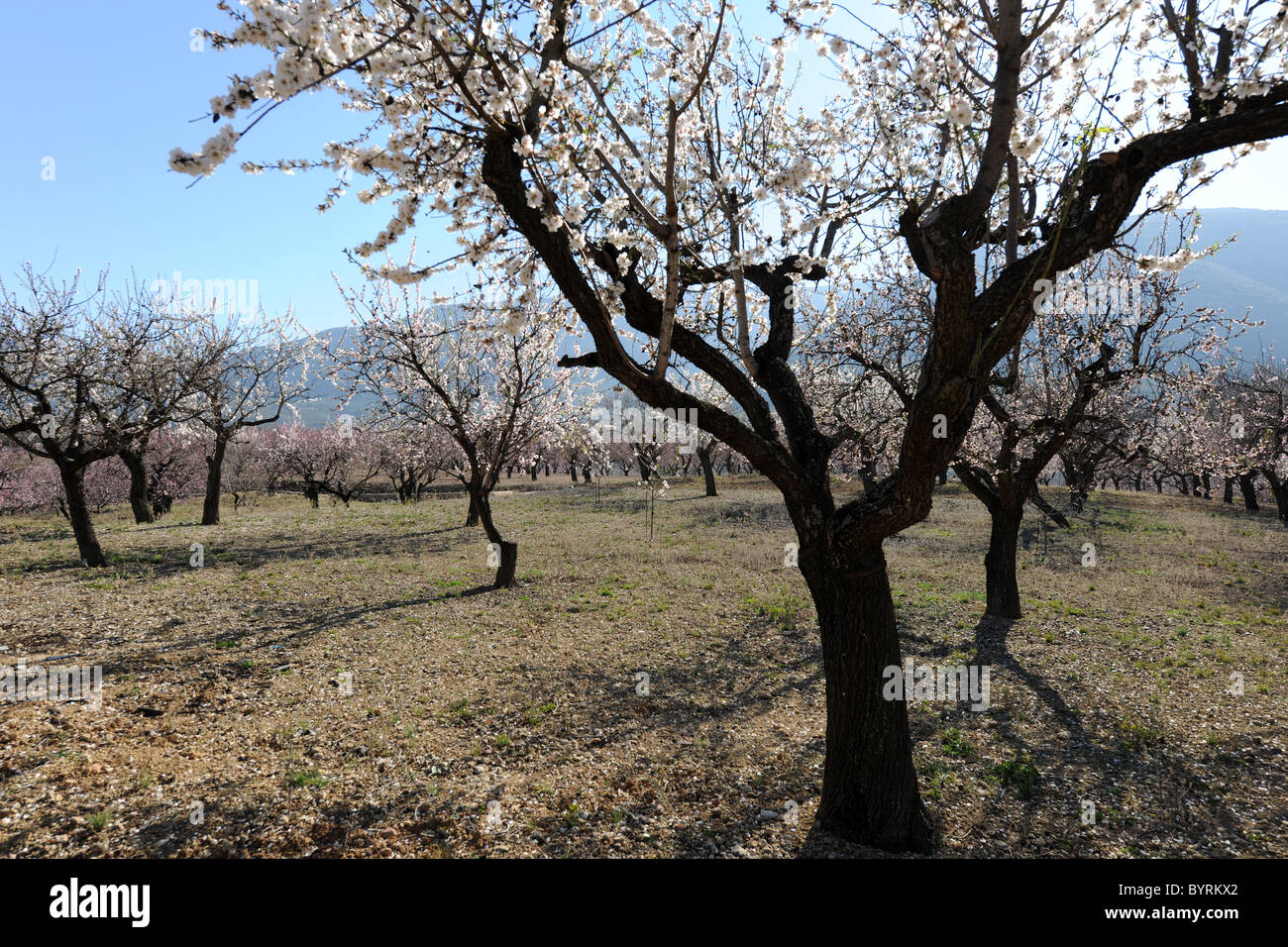 back-lit blossom on almond trees in an orchard near Alcalali, (Jalon Valley), Alicante Province, Valencia, Spain - Stock Image