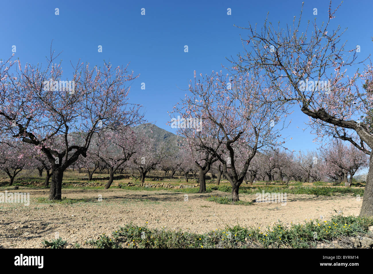 blossom on almond trees in an orchard near Alcalali, (Jalon Valley), Alicante Province, Valencia, Spain - Stock Image