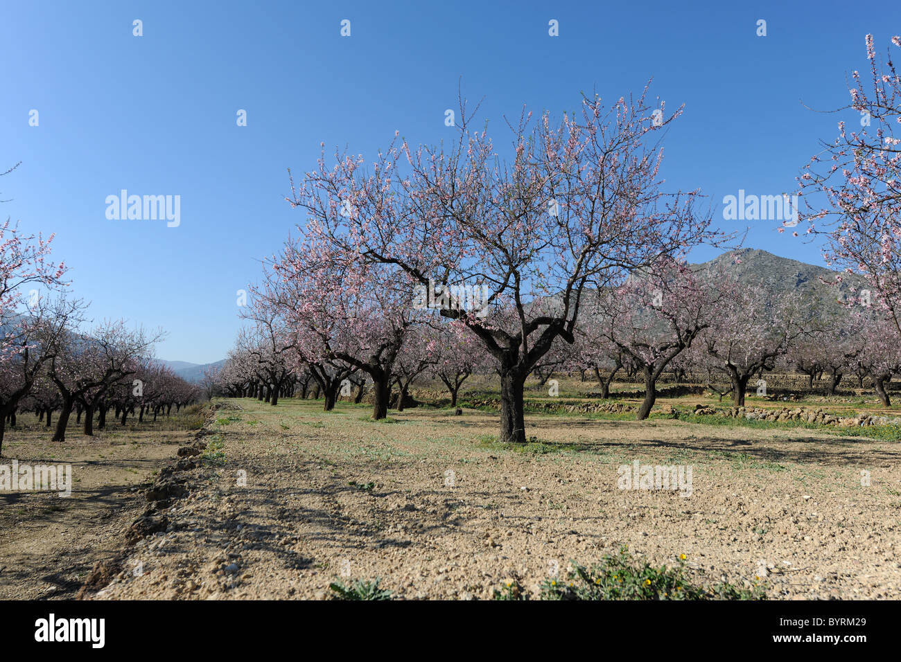blossom on almond trees in a terraced orchard near Alcalali, (Jalon Valley), Alicante Province, Valencia, Spain - Stock Image