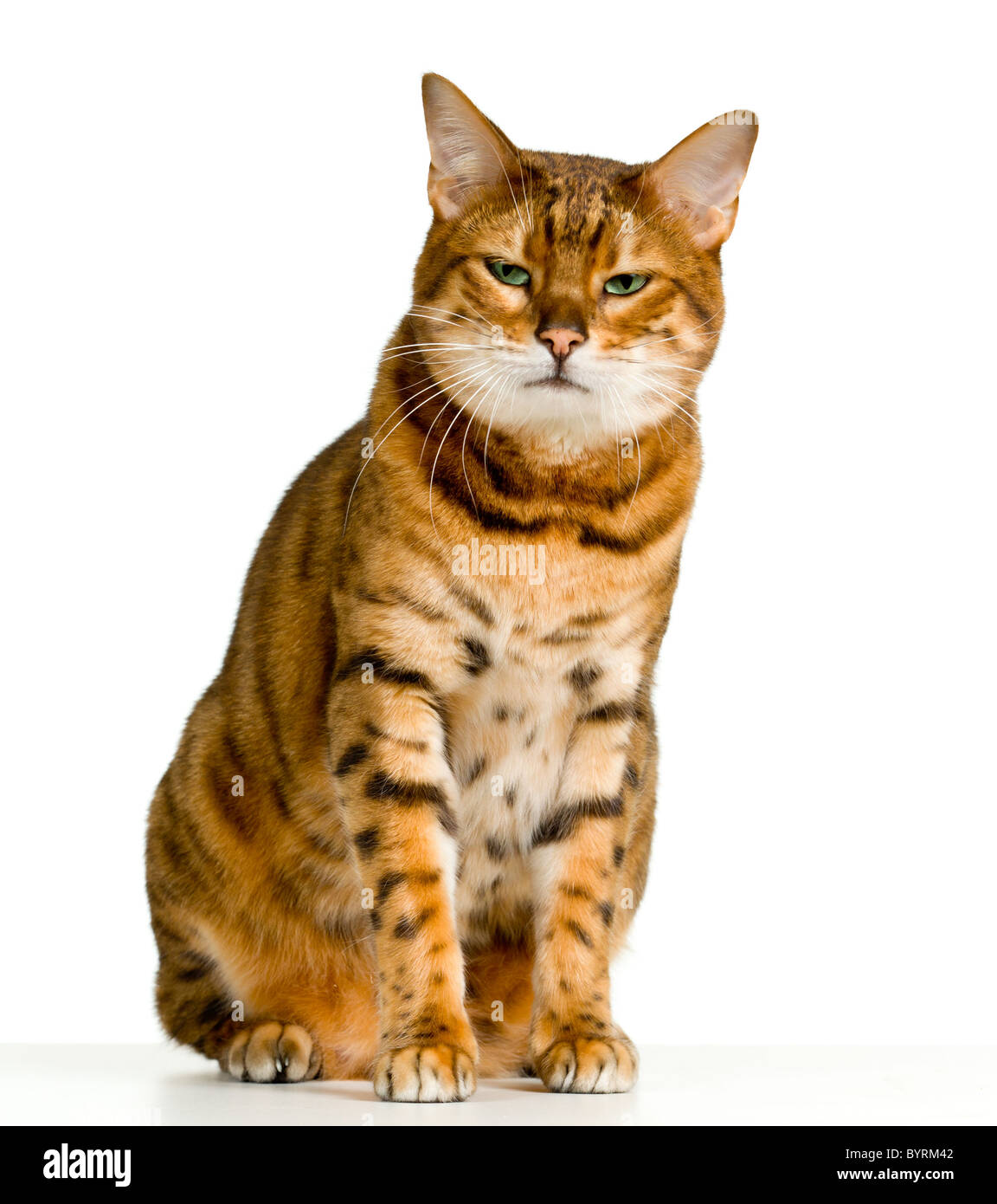 Bengal cat in orange and brown stripes like a tiger ...Orange And White Bengal Cat