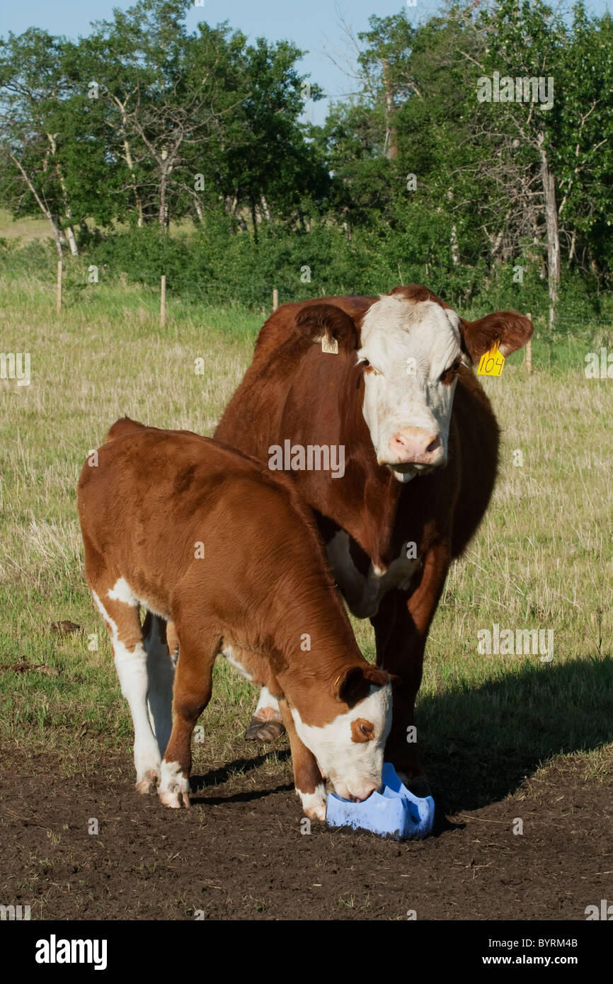 Livestock - Crossbred beef cow and her calf licking a salt block / Alberta, Canada. - Stock Image