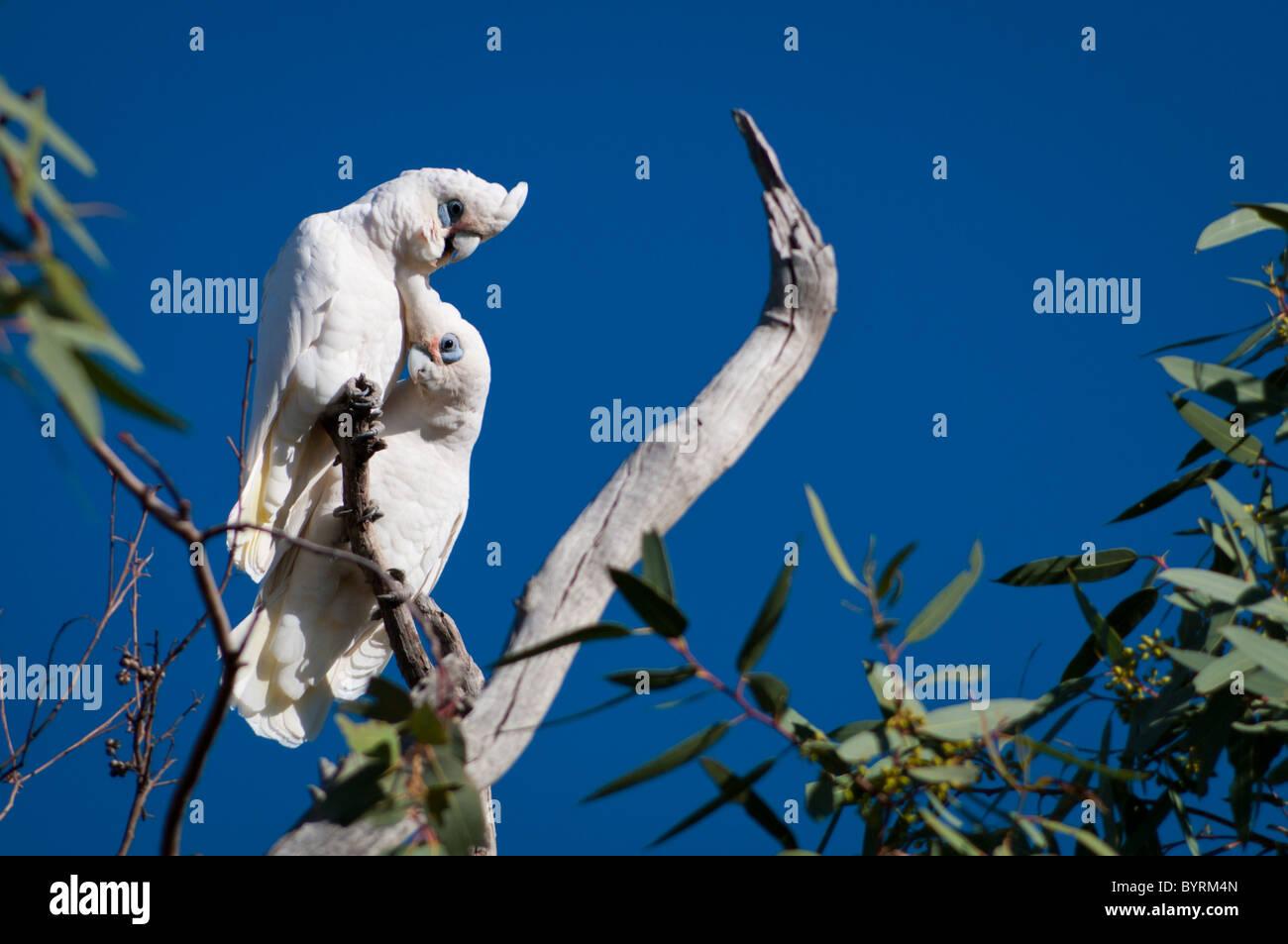 Pair of Little Corellas (Cacatua sanguinea) - Stock Image