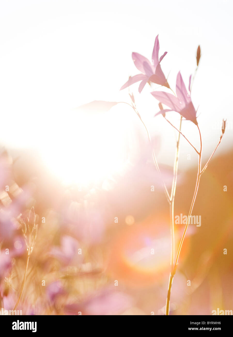 Fieldflower in backlighting,Dalarna,Sweden - Stock Image