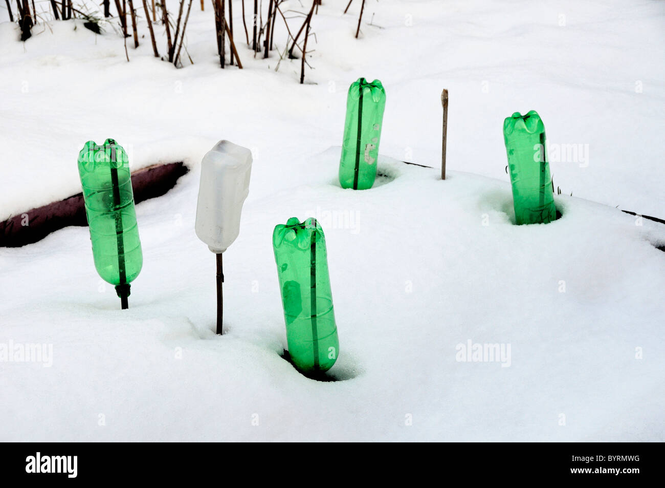 Recycled plastic water bottles upside-down over sticks in snow on an allotment - Stock Image