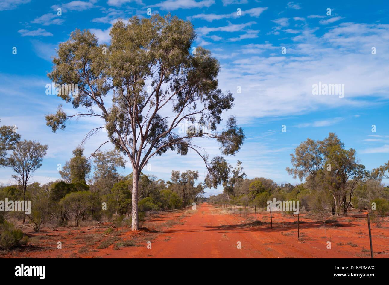 Leopardwood (Flindersia maculosa) in the desert - Stock Image