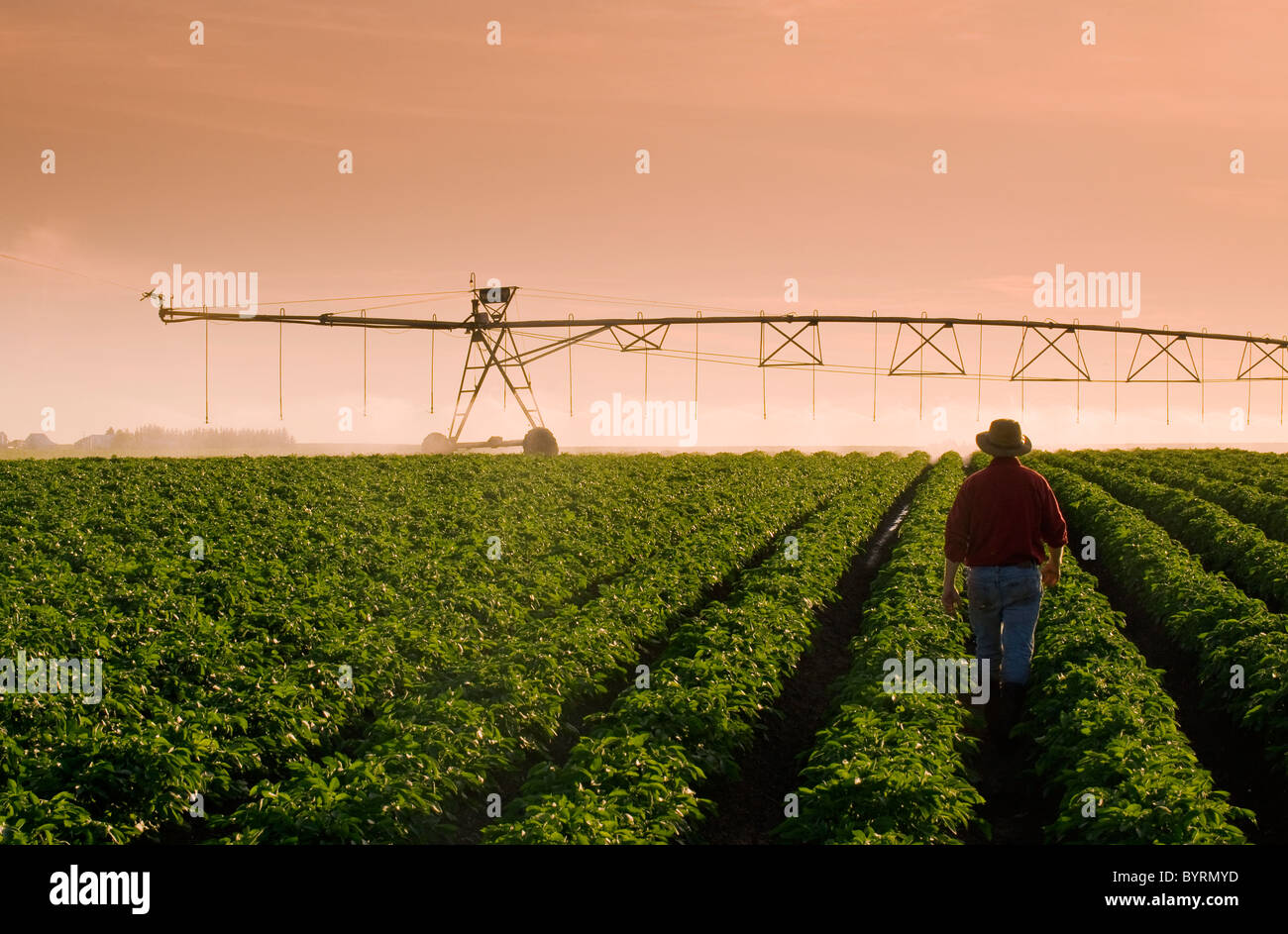 A farmer stands in his mid growth potato field observing a center pivot irrigation system in operation in late afternoon - Stock Image