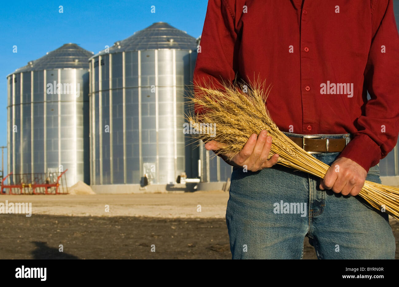 Closeup of a farmer holding stalks of mature wheat with grain storage bins in the background / near Lorette, Manitoba, Stock Photo