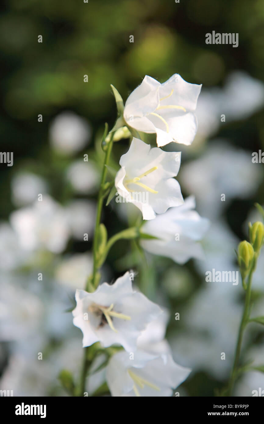White bell flower stock photos white bell flower stock images alamy white bell flower on the summer meadow selective focus stock image mightylinksfo