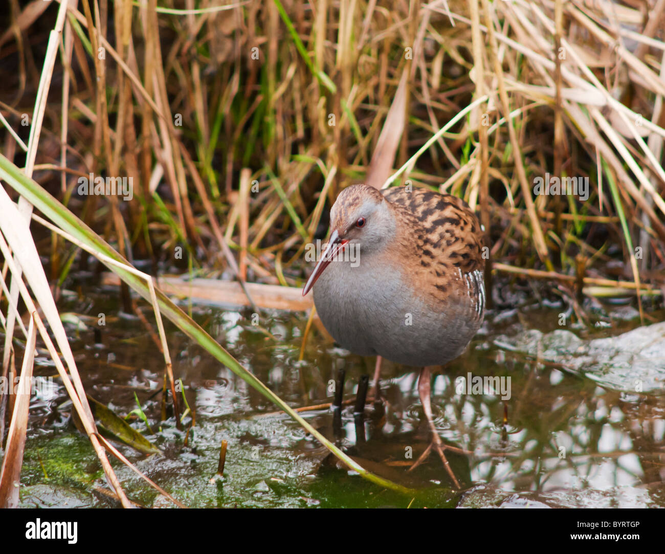 Water Rail, Rallus Aquaticus wading at waters edge of reed fringed pool, Norfolk - Stock Image