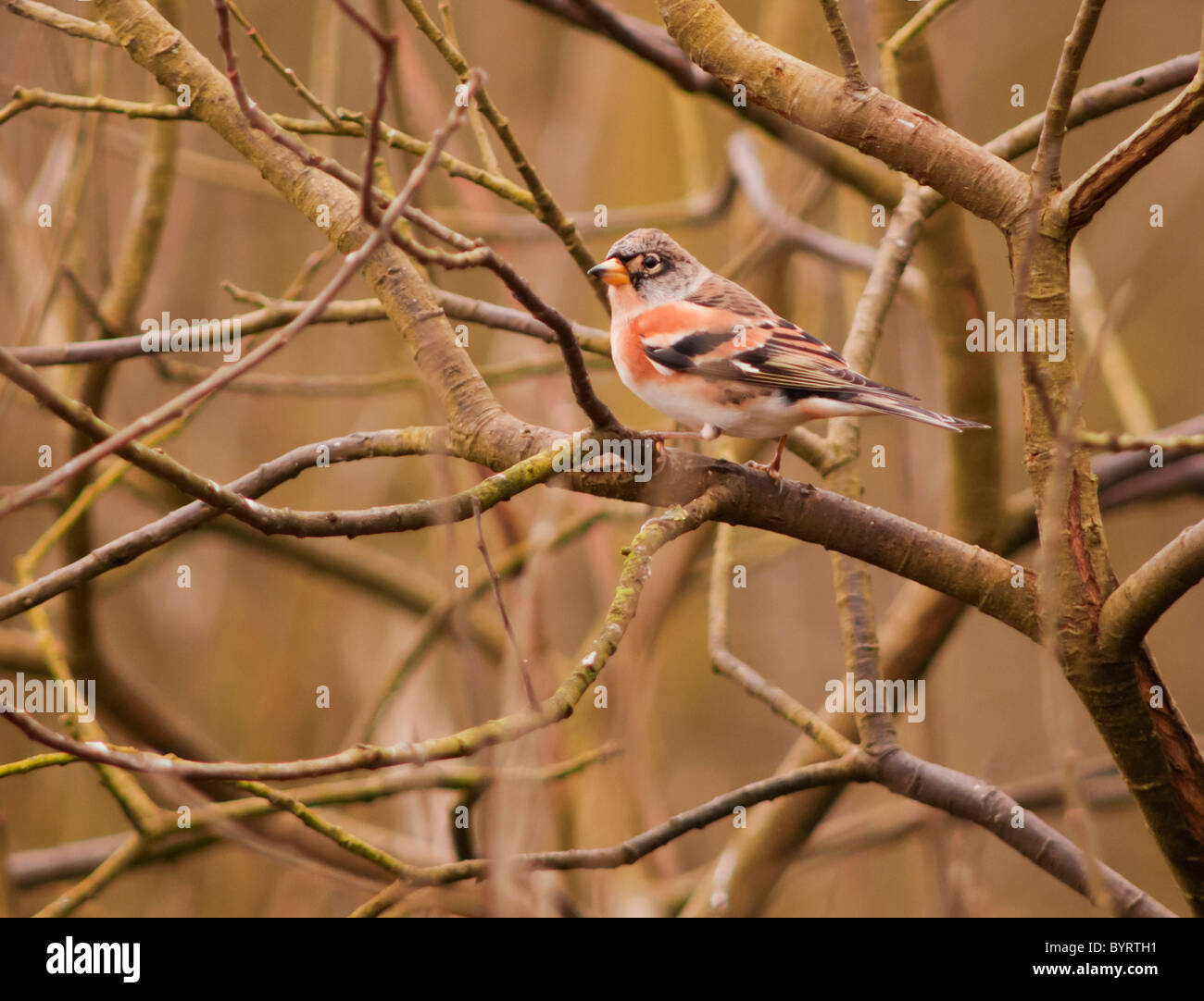 Male Brambling, Fringilla montifringilla, perched on branch - Stock Image