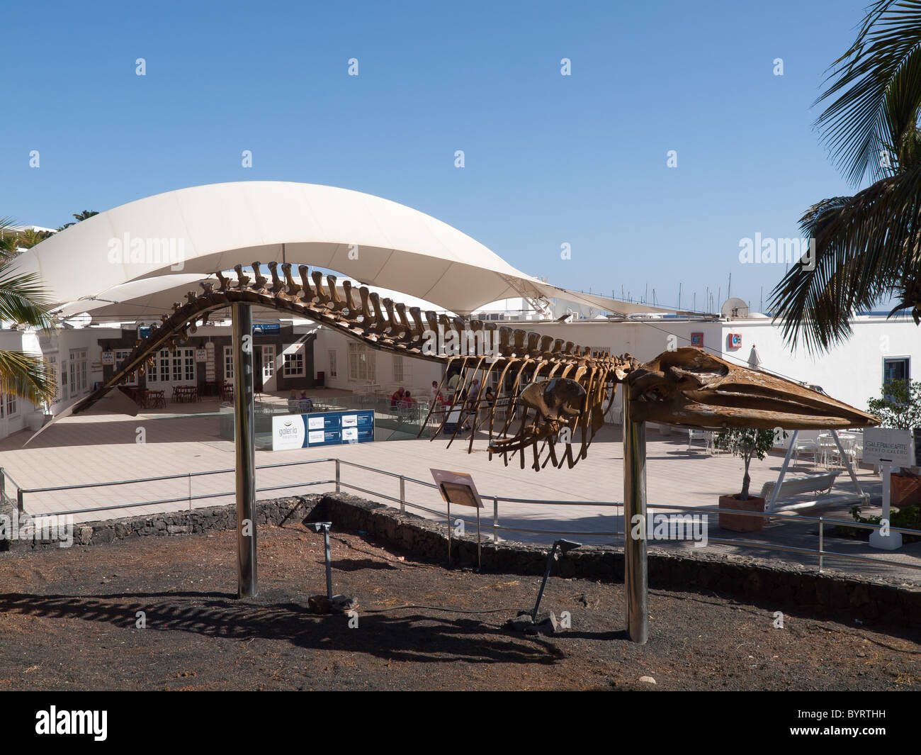 Mounted skeleton of a Brydes Whale Balaenoptera edeni at the Whales and Dolphins Museum Puerto Calera Lanzarote - Stock Image