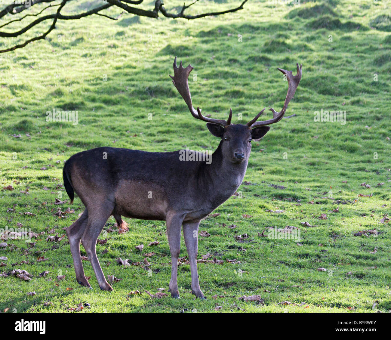 alpha male fallow deer stag Stock Photo