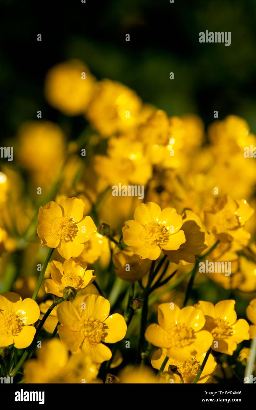 Field buttercups - Stock Image
